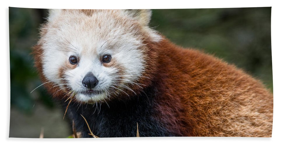 Sequoia Park Zoo Hand Towel featuring the photograph Portrait Of Cini The Red Panda by Greg Nyquist