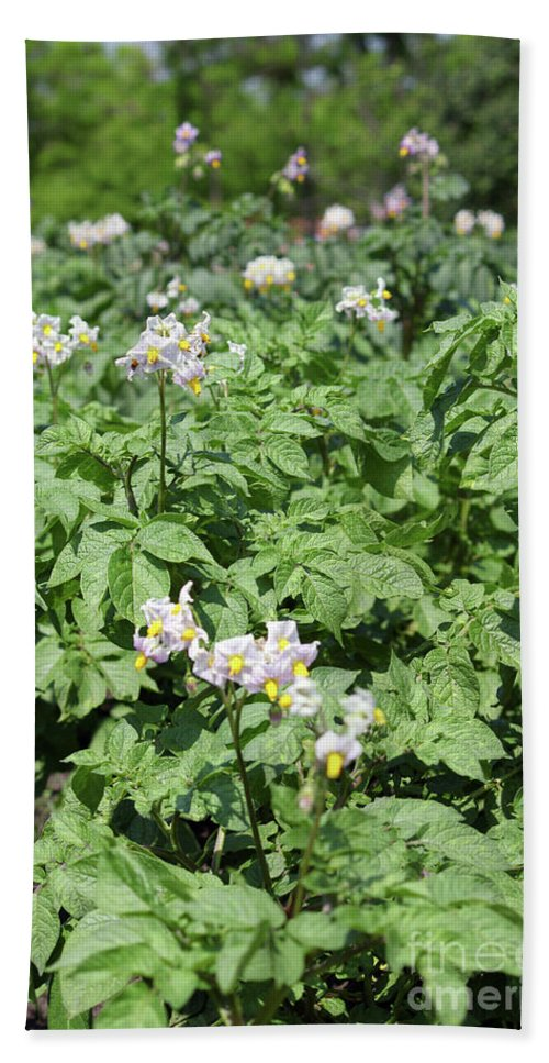 Potato Hand Towel featuring the photograph Potato Flower Agriculture Spring Scene by Goce Risteski