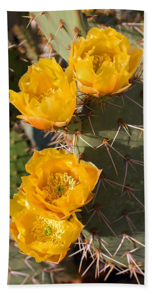 Cactus Bath Sheet featuring the photograph Prickly Pear Cactus Flowers by Jill Reger