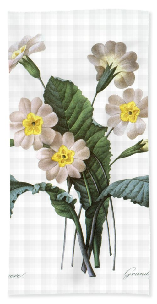1833 Hand Towel featuring the photograph Primrose (primula Aucalis) by Granger