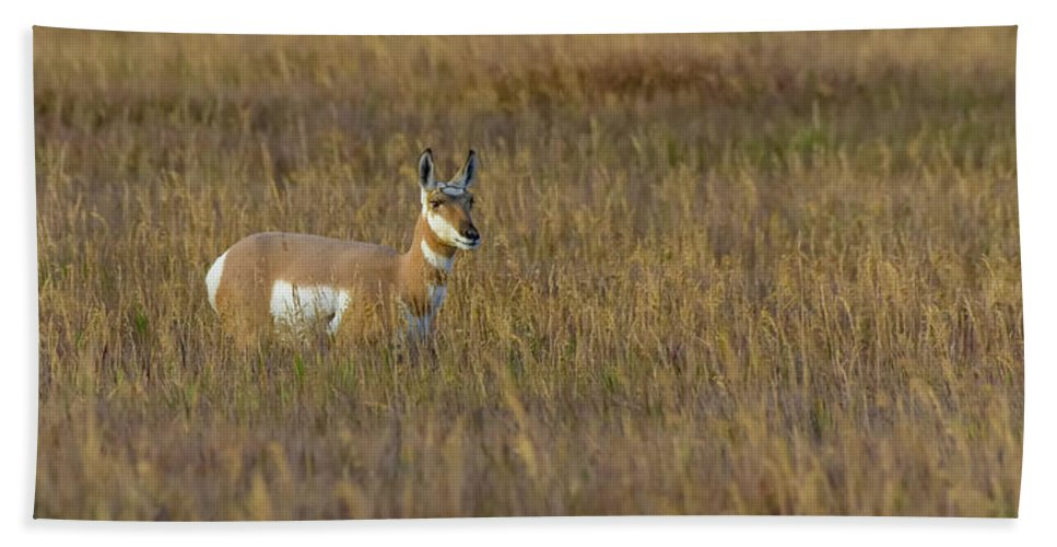 Pronghorn Bath Sheet featuring the photograph Pronghorn At Golden Hour by Yeates Photography