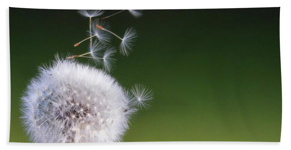 Dandelion Bath Sheet featuring the photograph Puff by Debbie Deboo