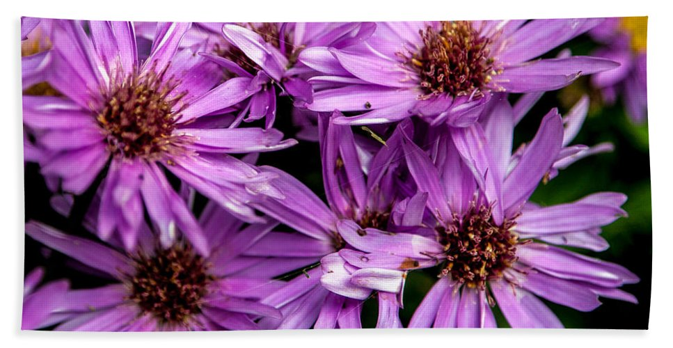 Flower Hand Towel featuring the photograph Purple Aster Blooms by John Haldane