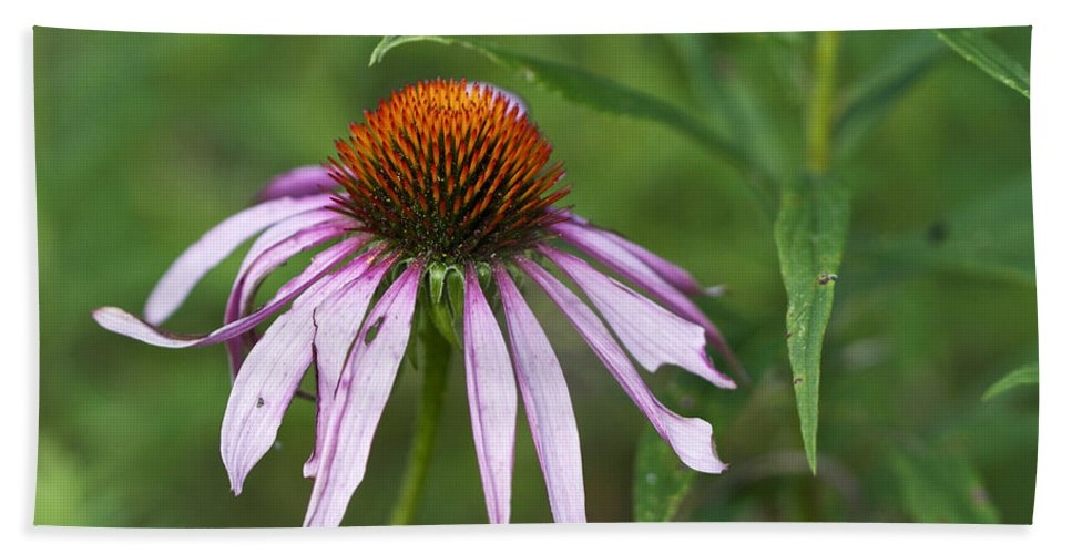 Purple Hand Towel featuring the photograph Purple Coneflower Wildflower - Echinacea Purpurea by Mother Nature