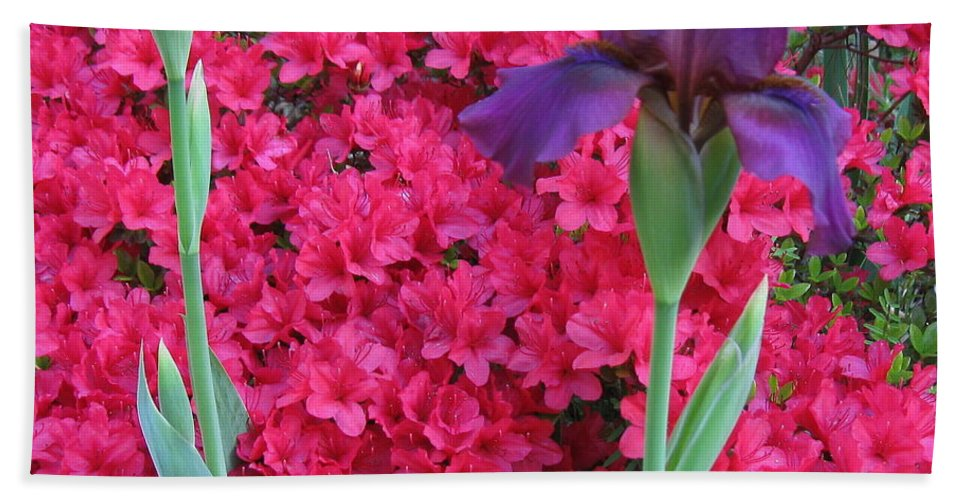 Purple Iris Hand Towel featuring the photograph Purple Iris In Pink 2 by Nancy Patterson