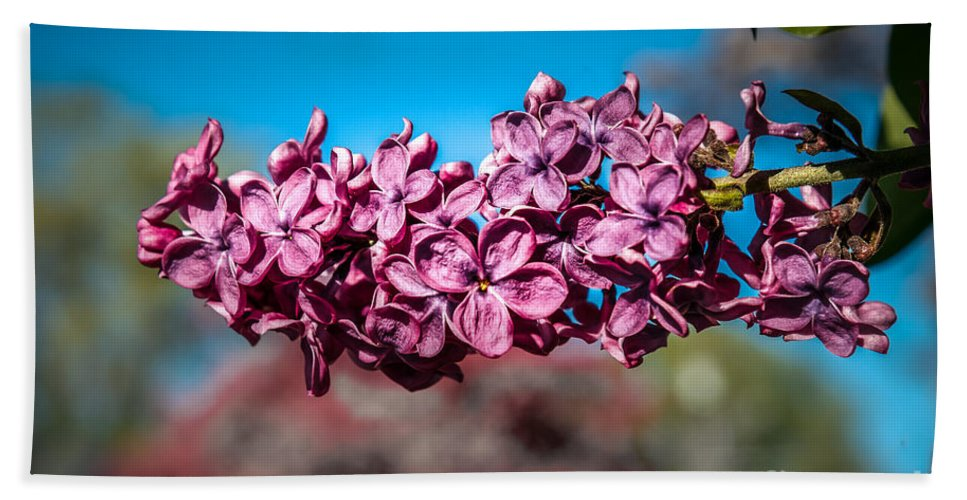Lilac Hand Towel featuring the photograph Purple Lilac by Robert Bales