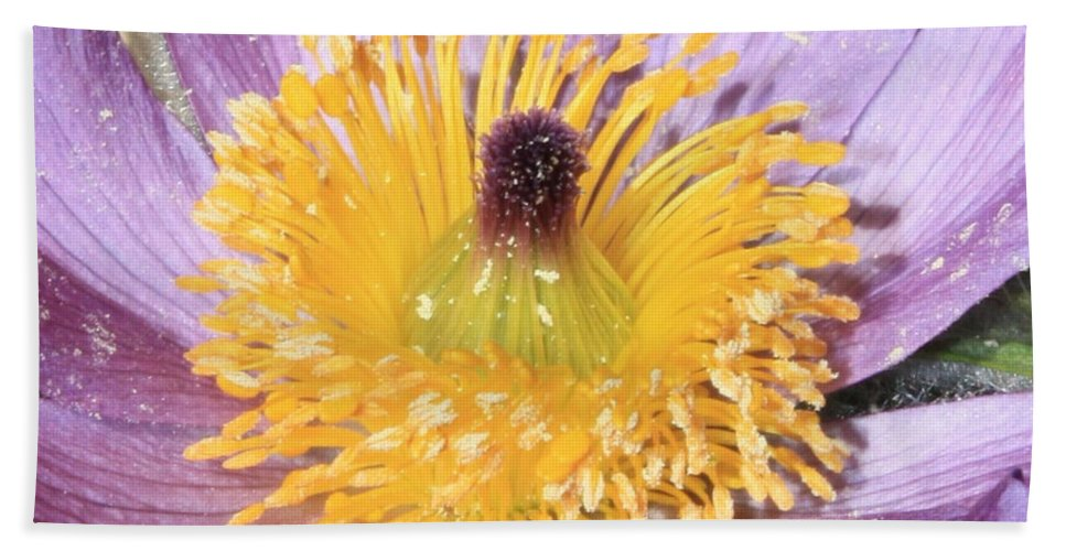 Purple Pasque Flower Bath Sheet featuring the photograph Purple Pasque Flower With Pollen by Carol Groenen