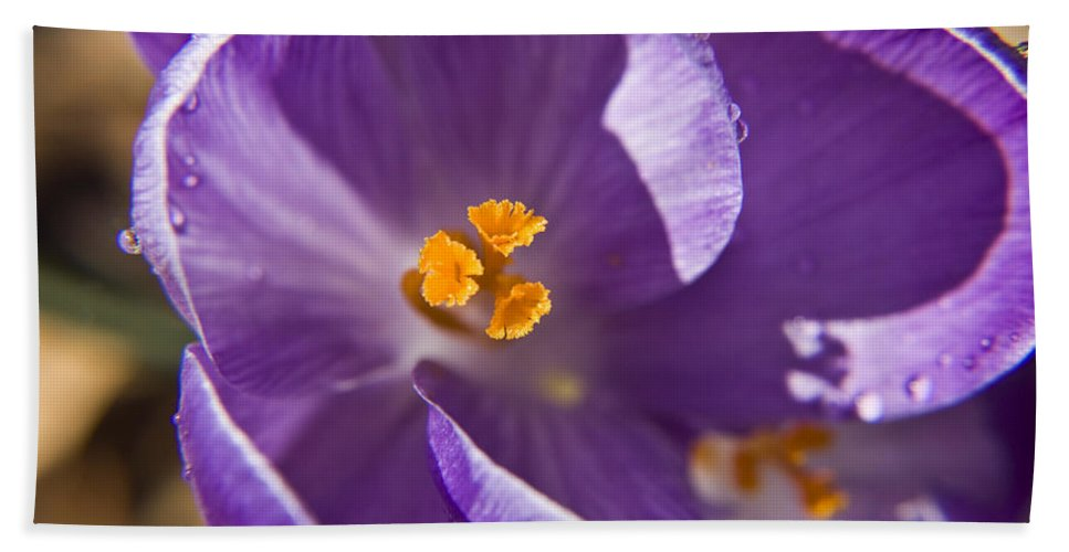 Crocus Hand Towel featuring the photograph Purple Spring Crocus by Teresa Mucha