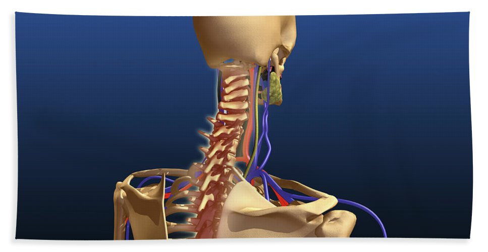 Biomedical Illustrations Bath Sheet featuring the digital art Rear View Of Human Spine And Scapula by Stocktrek Images