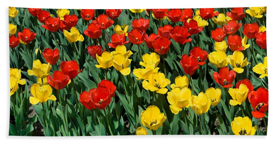 Red Bath Sheet featuring the photograph Red And Yellow Tulips Naperville Illinois by Michael Bessler