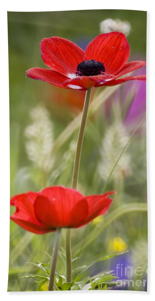 Red Bath Towel featuring the photograph Red Anemone Coronaria In Nature by Ofer Zilberstein