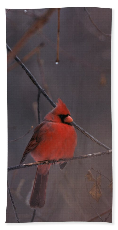 Birds Bath Sheet featuring the photograph Red Cardinal by John Harmon