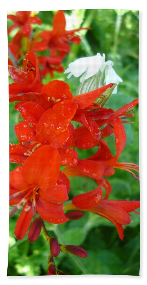 Flora Hand Towel featuring the photograph Red Crocosmia Lucifer by Susan Baker