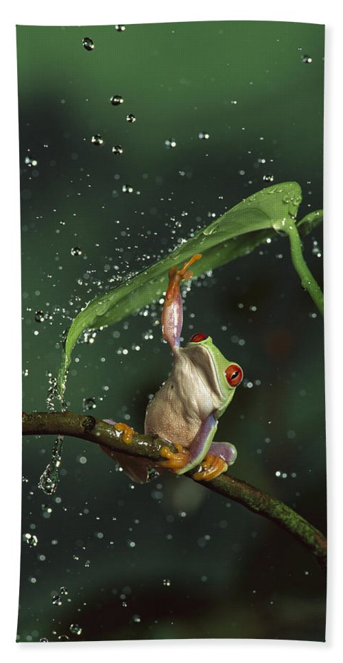 Mp Hand Towel featuring the photograph Red-eyed Tree Frog In The Rain by Michael Durham
