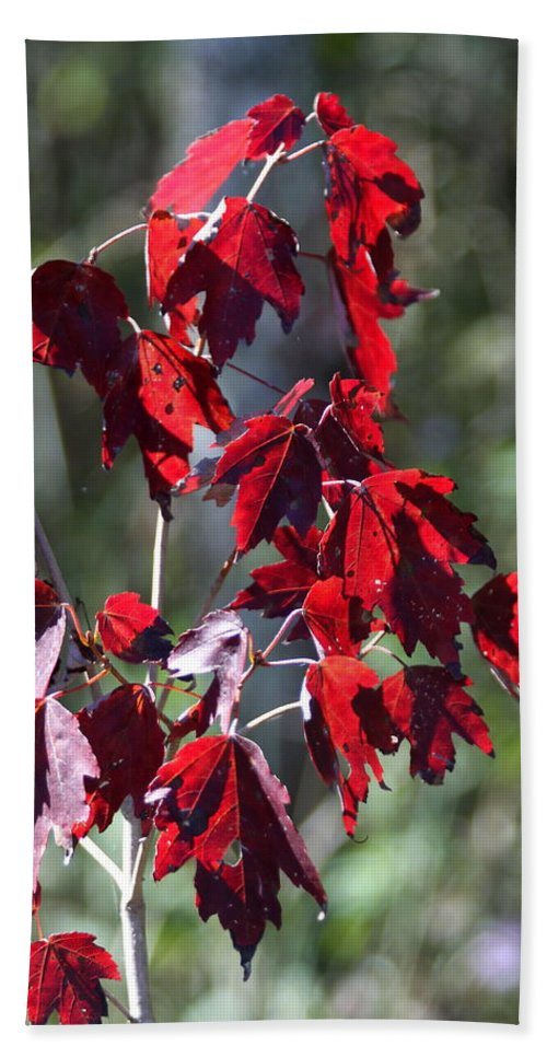 Red Leaves Hand Towel featuring the photograph Red Fall Leaves In The Sun by Christiane Schulze Art And Photography