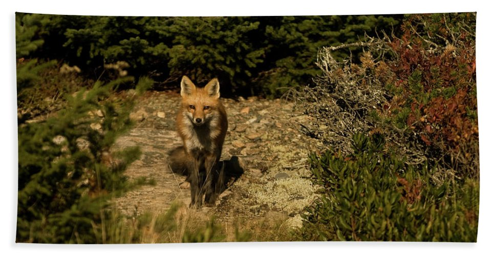 red Fox Bath Sheet featuring the photograph Red Fox by Paul Mangold