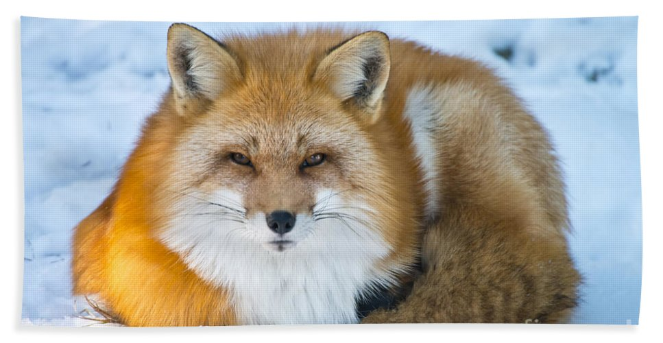 Red Fox Hand Towel featuring the photograph Red Fox Pictures 98 by World Wildlife Photography