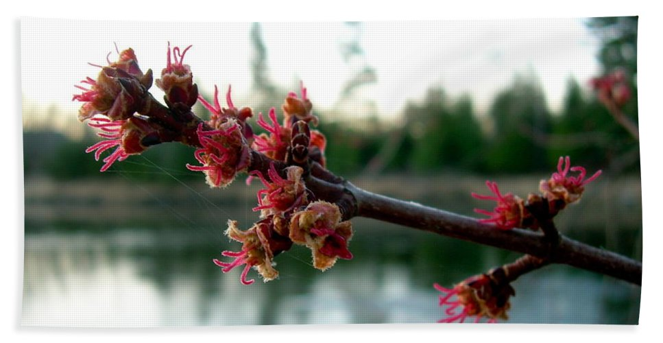 Maple Buds Bath Sheet featuring the photograph Red Maple Buds At Dawn by Kent Lorentzen
