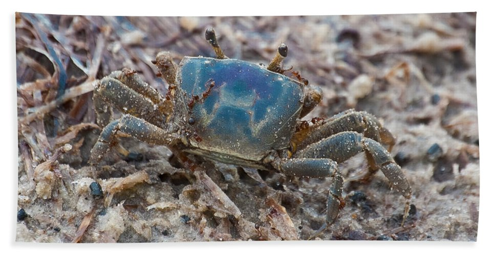 Blue Crab Bath Sheet featuring the photograph Red On Blue by DigiArt Diaries by Vicky B Fuller
