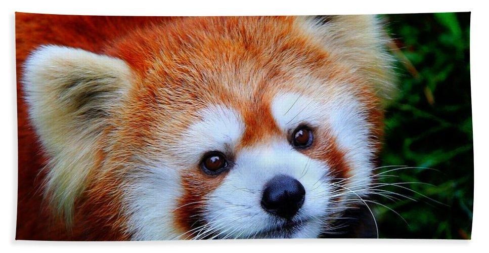 Panda Bath Sheet featuring the photograph Red Panda by Davandra Cribbie