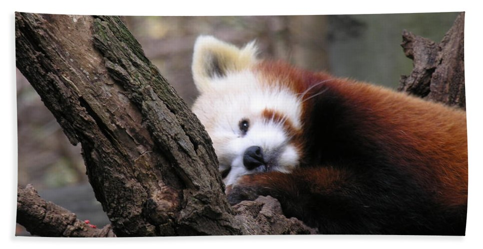 Red Bath Towel featuring the photograph Red Panda by Diane Greco-Lesser