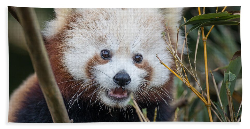 Sequoia Park Zoo Hand Towel featuring the photograph Red Panda Wonder by Greg Nyquist