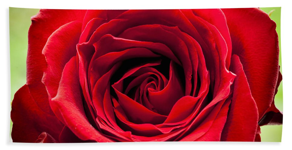 Flower Bath Sheet featuring the photograph Red Rose Colour Isolated On A Green Background. by Paul Cullen