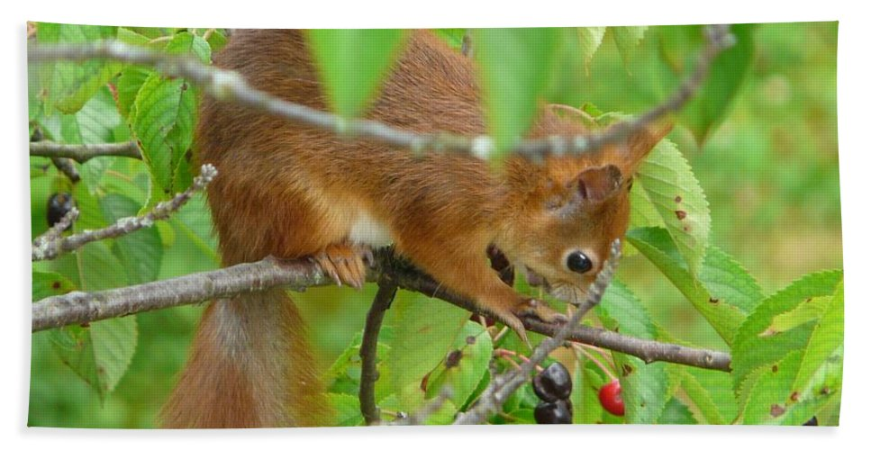 Animal Bath Sheet featuring the photograph Red Squirrel In The Cherry Tree by Valerie Ornstein