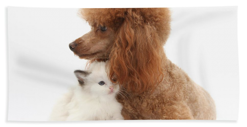 Animal Hand Towel featuring the photograph Red Toy Poodle And Kitten by Mark Taylor