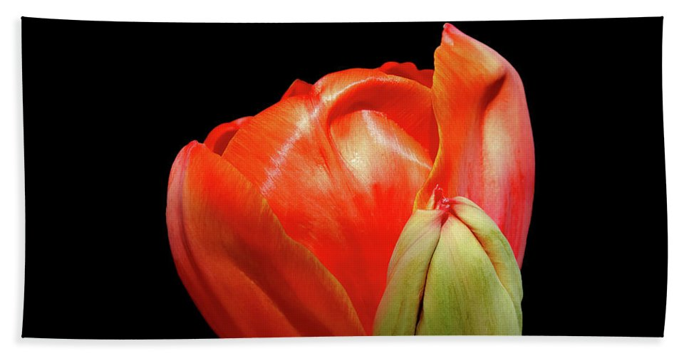 Flower Photos Bath Sheet featuring the photograph Red Tulip With Bud by Maria Ollman