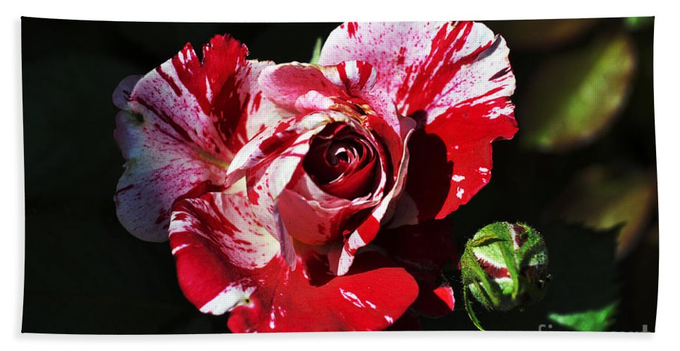Clay Bath Towel featuring the photograph Red Verigated Rose by Clayton Bruster