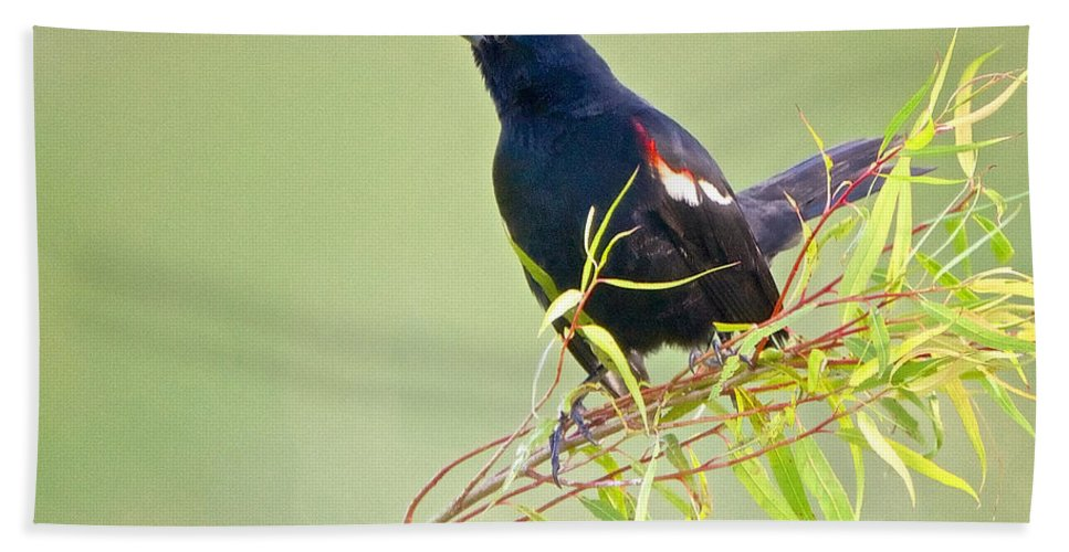 Red-winged Blackbird Hand Towel featuring the photograph Red-winged Blackbird by Linda Shannon Morgan