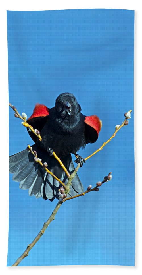 Red-winged Blackbird Hand Towel featuring the photograph Red-winged Blackbird by Randall Ingalls
