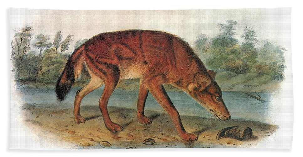 1846 Hand Towel featuring the photograph Red Wolf (canis Lupus) by Granger