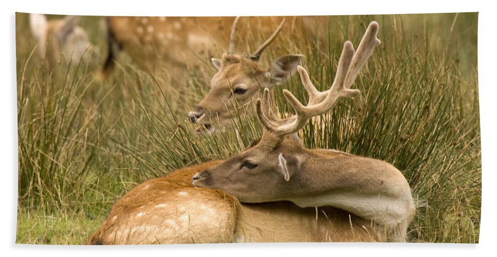 Fallow Deer Hand Towel featuring the photograph Rest Time by Angel Ciesniarska