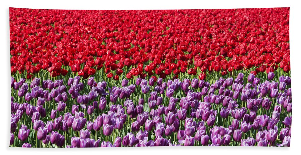 Tulips Hand Towel featuring the photograph Ribbons Of Color by Mike Dawson