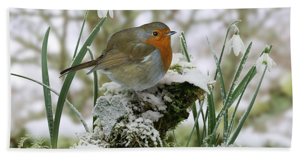 European Robin Hand Towel featuring the photograph Robin And Snowdrops by Warren Photographic