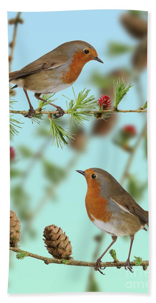 European Larch Hand Towel featuring the photograph Robins On Larch by Warren Photographic