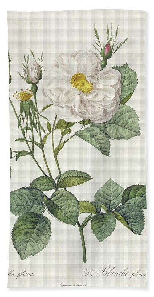 Rosa Bath Towel featuring the drawing Rosa Alba Foliacea by Pierre Joseph Redoute