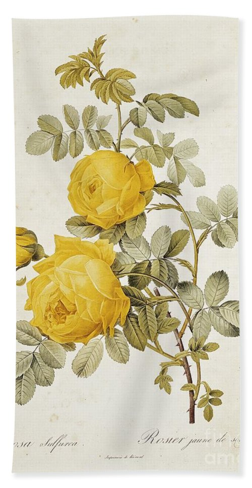 Rosa Bath Towel featuring the drawing Rosa Sulfurea by Pierre Redoute