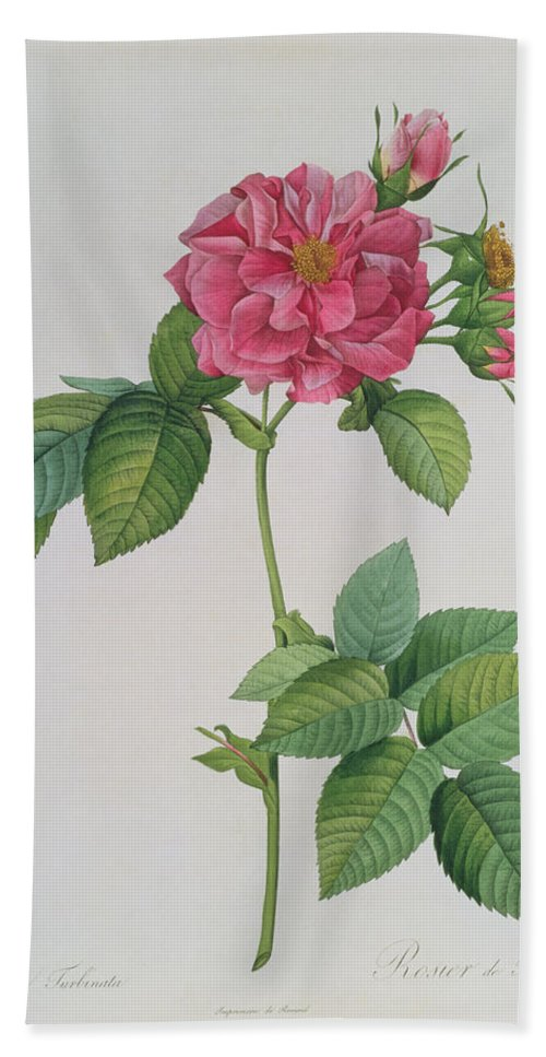Rosa Hand Towel featuring the drawing Rosa Turbinata by Pierre Joseph Redoute