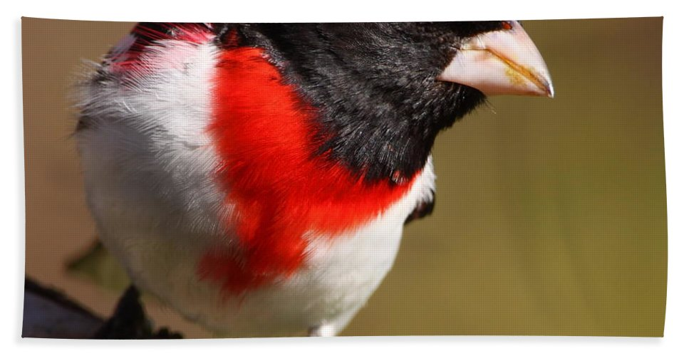Rose-breasted Grosbeak Hand Towel featuring the photograph Rose-breasted Grosbeak Squared by Bruce J Robinson