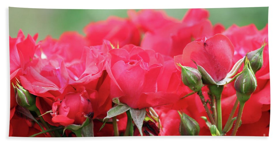 Rose Hand Towel featuring the photograph Roses Close Up Nature Spring Scene by Goce Risteski
