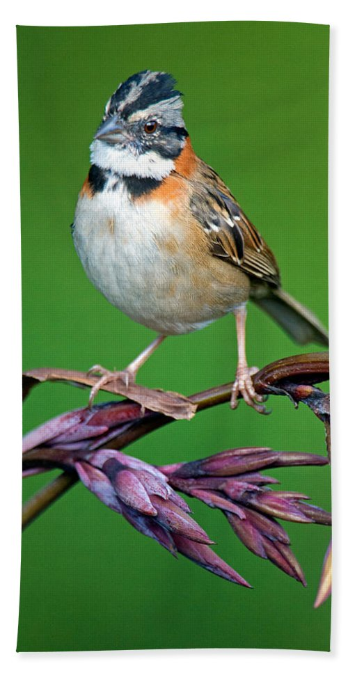 Photography Bath Sheet featuring the photograph Rufous-collared Sparrow Zonotrichia by Panoramic Images