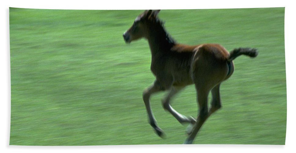 Animals Bath Sheet featuring the photograph Running Colt by Robert Chaponot