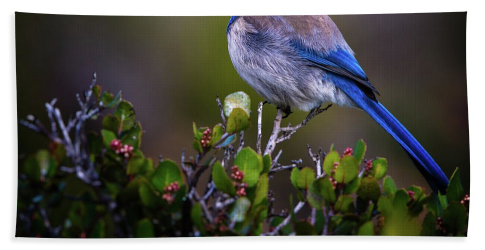 Blue Bird Bath Sheet featuring the photograph San Diego Bluebird by Doug Sturgess
