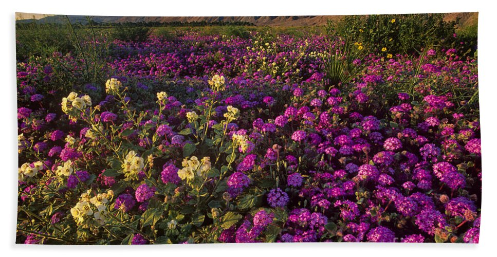 North America; California; Anza Borrego Desert State Park; Desert Wildflowers; Sand Verbena; Coyote Mountains; Spring; Dave Welling; Flowers; Desert Flora; Wildflower Display Hand Towel featuring the photograph Sand Verbena Coyote Mountains Anza Borrego State Park California by Dave Welling