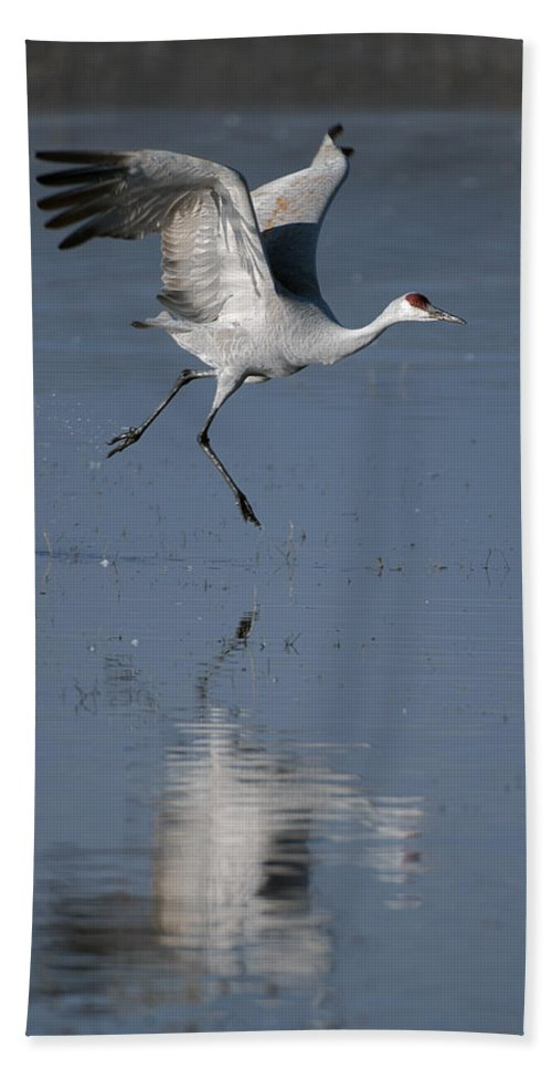 Sandhill Crane Bath Sheet featuring the photograph Sandhill Crane Running On Water by Gary Langley