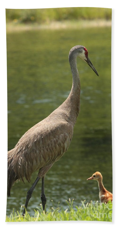 Ponds Bath Sheet featuring the photograph Sandhill Crane With Baby Chick by Carol Groenen
