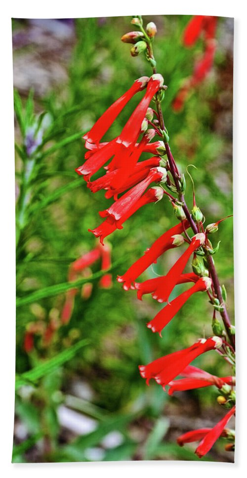 Scarlet Bugler In Rancho Santa Ana Botanic Garden In Claremont Hand Towel featuring the photograph Scarlet Bugler In Rancho Santa Ana Botanic Garden In Claremont-californi by Ruth Hager